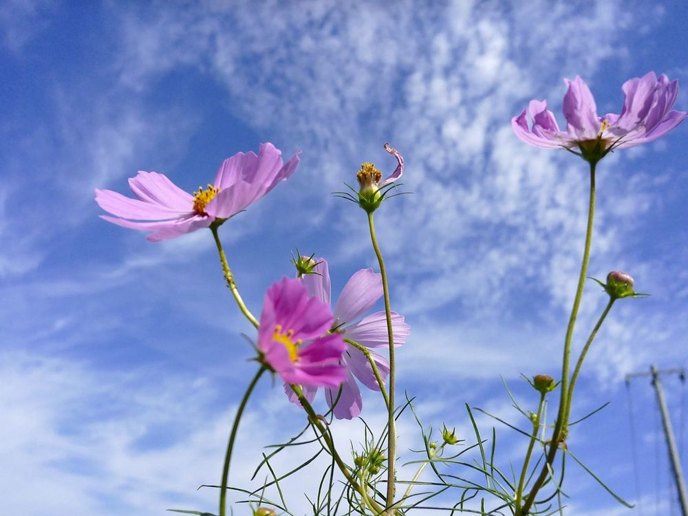 Fragility Freshness Flower Growth Petal Pink Color Beauty In Nature Flower Head Stem Low Angle View Plant Close-up Nature Springtime In Bloom Growing Cloud Cloud - Sky Focus On Foreground Sepal