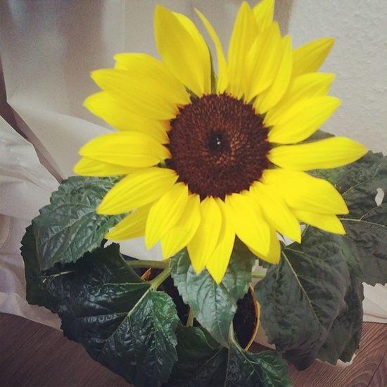 Der Start in ein Perfekteswochenende wenn der Bestermannderwelt Blumen mitbringt Sonnenblume glücklich liebe ichliebedich