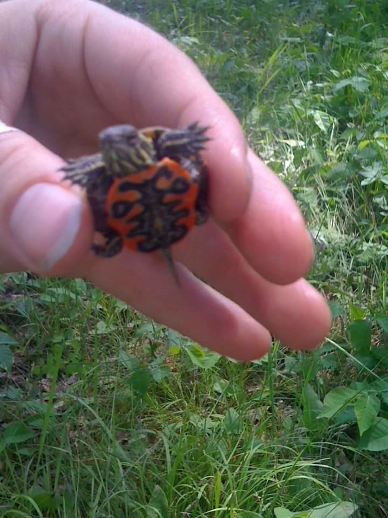 Baby Turtle Painted Turtle Tiny Little Hand