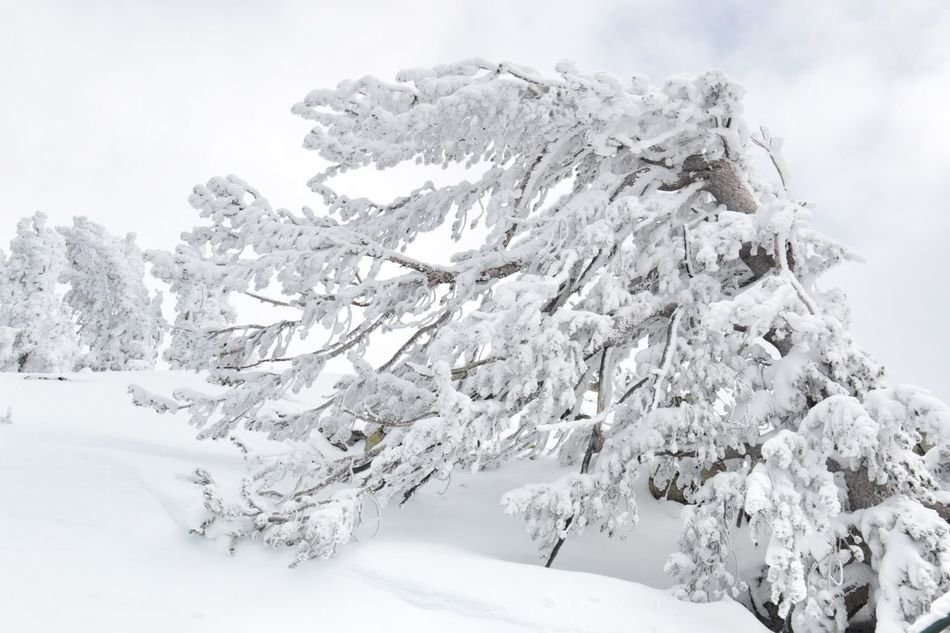 Winter Wonderland ❄ Winter White Color Tree South Lake Tahoe Snow Cold Temperature Close-up Beauty In Nature Heavenly Ski Resort Landscape Sierra Nevada Mountains Gray Skies Tranquility