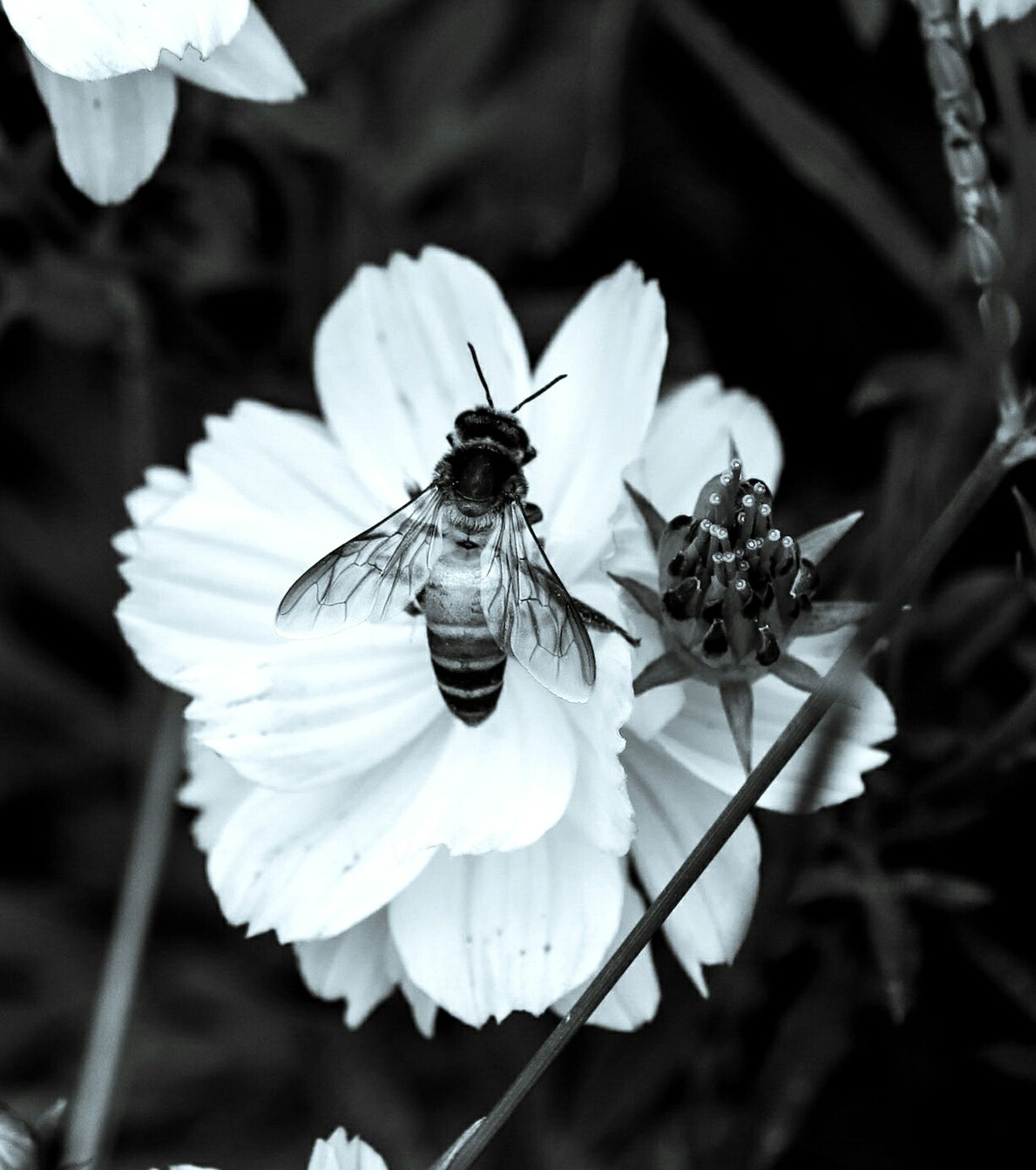 Flower Head Perching Focus On Foreground Flower Animal Wildlife Insect Outdoors Plant Animals In The Wild Animal Themes One Animal Nature Close-up No People Fragility Canon 750d Great Outdoors-EyeEm Awards 2017 Honeybee On Flower Bee Bee On The Flower The Great Outdoors - 2017 EyeEm Awards Monochrome Photography Monochrome