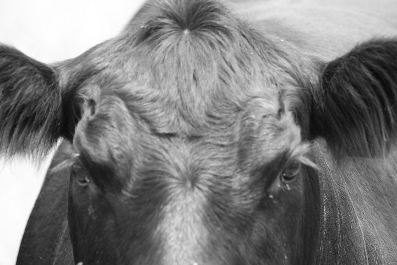 Blackandwhite Eyeem Monochrome Eyeem Black And White EyeEm Best Shots Eyeem Australia Farming Angus Australian Beef Prime Beef EyeEm Portraits EyeEm Gallery Australian Export Beef Export Industry Angus Cattle Australian Cattle Industry Australian Outback Bathurst Australia Showcase: February