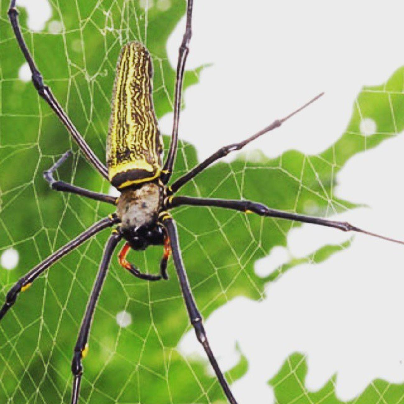 Lancah maung part 2. Spider Spiderworld Ig_spiders Ig_spider labalaba lancahmaung lancah