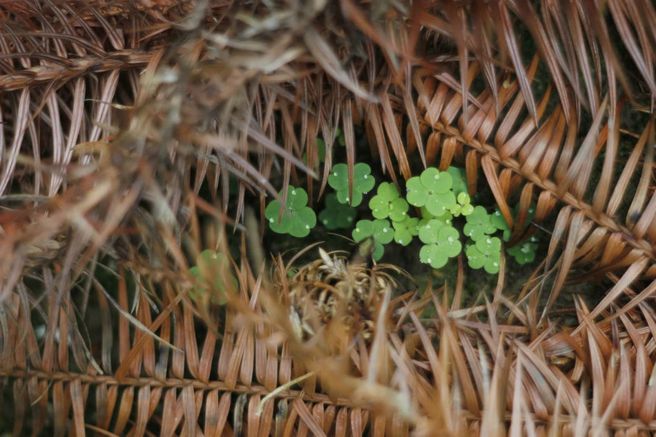 Beautiful stock photos of st patricks day, Brown, Clover, Day, Dry