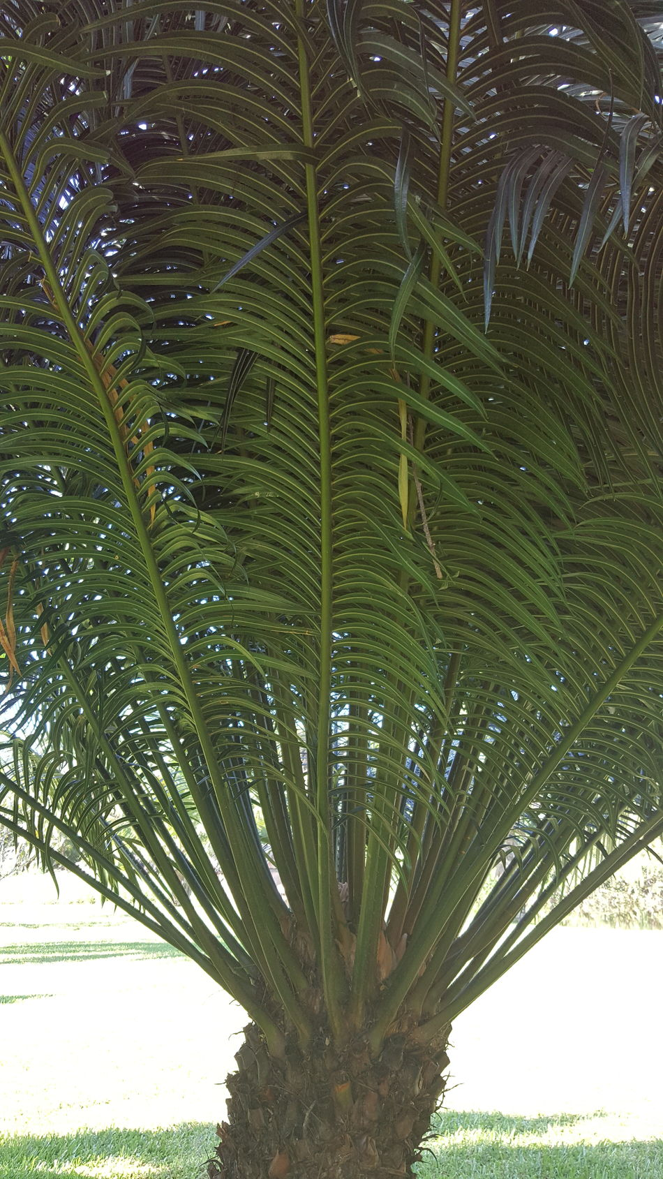 Tree Nature Green Color Palm Tree Growth Leaf Beauty In Nature Tree Trunk Plant Branch Outdoors Day No People Freshness Close-up Sky
