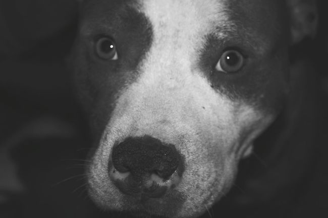 Showing Imperfection she insisted I take her picture this morning. She watched me try to take pictures of her brother and puppies. She kept getting in the way until I took this shot. Selfie dog!!! Selfie Dog  Staffordshire Bull Terrier Animal Photography Animal_collection Dogsofeyeem Dogs Of EyeEm Dog Portrait Dog Photography Blackandwhite Black And White Black & White Staffy Staffylove