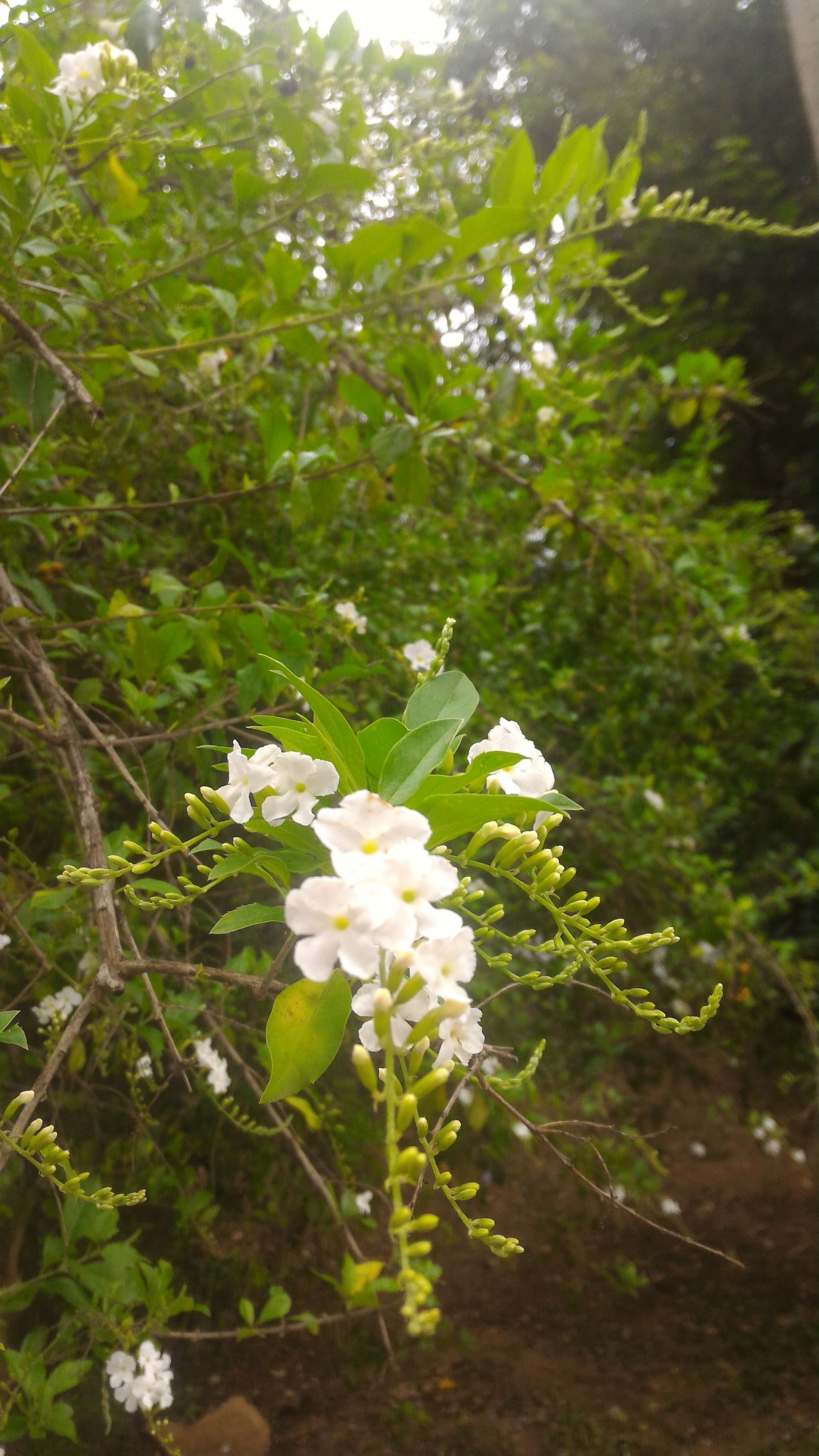 nature, white color, growth, freshness, beauty in nature, fragility, flower, green color, plant, no people, outdoors, petal, close-up, flower head, day, tree