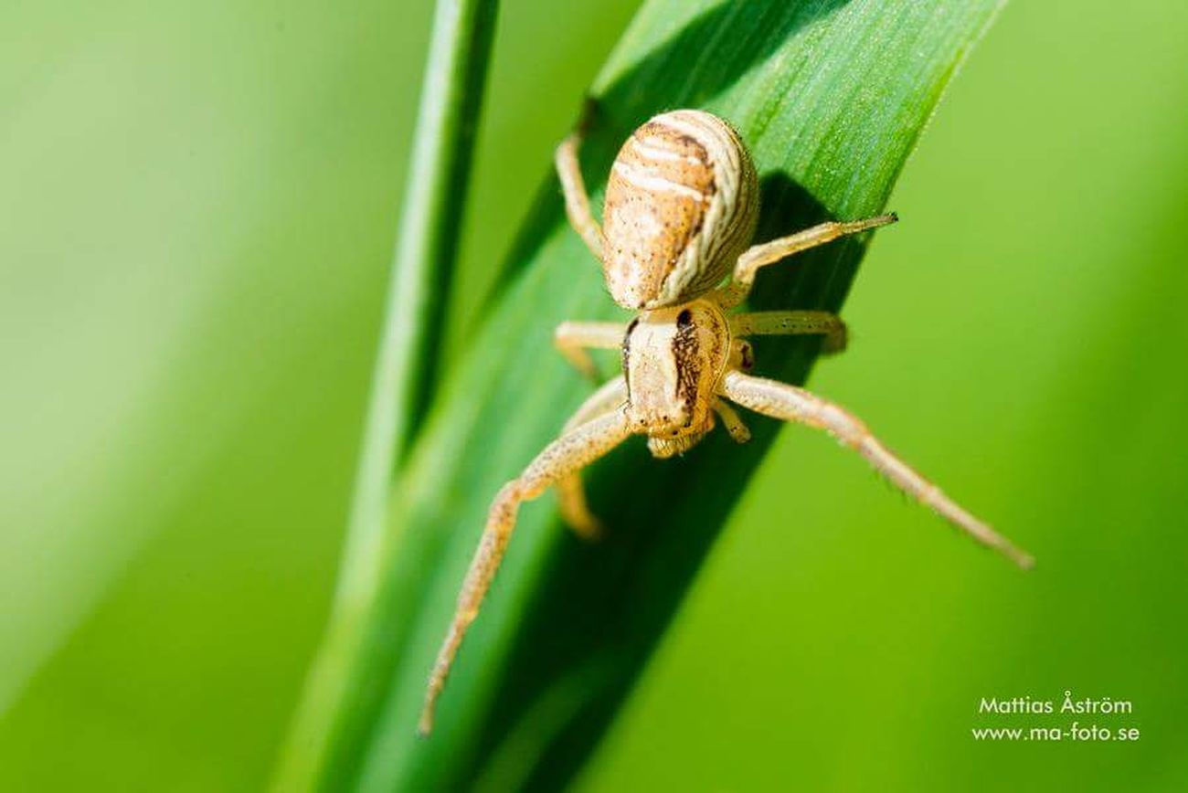 This cute little spider keept me company yesterday. www.ma-foto.se or kik : mafoto Spider Spiderworld Little Things Insect Macro Photography Macro_collection Nature Photography Nikonphotography Photographer Original Photography Followme Nikonphotographer Kik Naturelovers Small Animals Itsy Bitsy Spider Green Greenery Photography Legs Close-up Straw Climbing Plant Nikon D800 Sigmalens