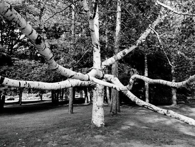 Hydra Birch Tree Branches Tree_collection  Park Brunswick Braunschweig