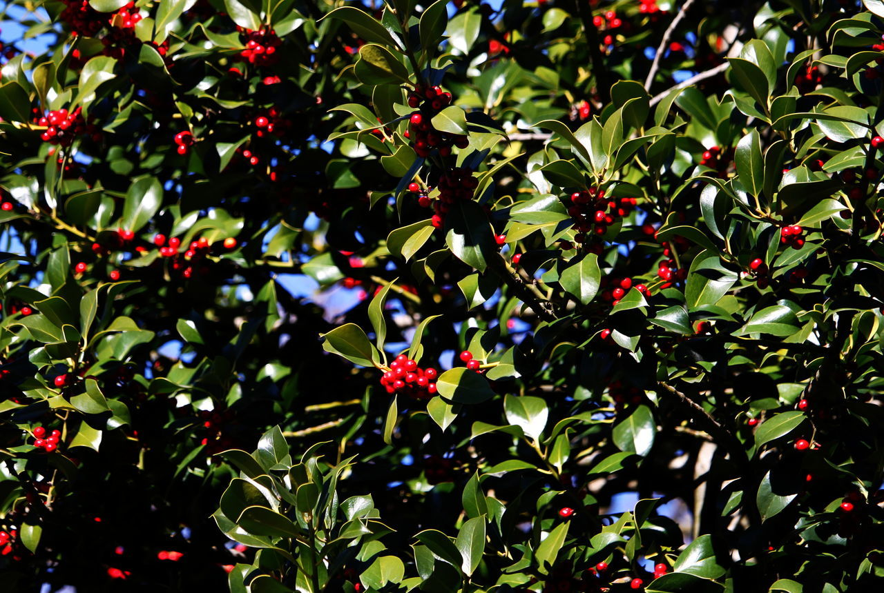 Ameno Town Close-up Day Green Color Growth March 2017 Nature No People Outdoors Piemonte Red Berries Tree