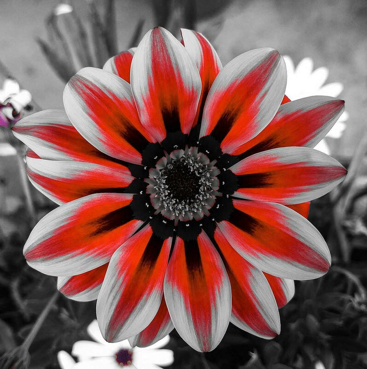 Flower Power - Flower Red Blackandwhite PtOlix Justforfun