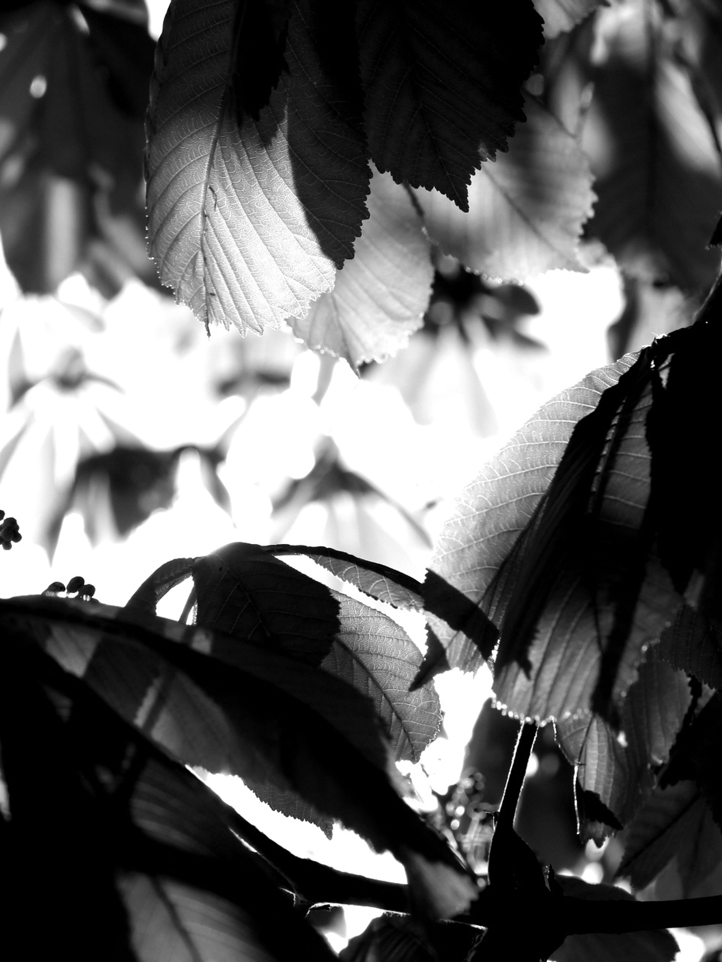 leaf, low angle view, growth, branch, tree, close-up, nature, sunlight, outdoors, day, no people, focus on foreground, beauty in nature, leaves, plant, leaf vein, natural pattern, sky, part of, silhouette