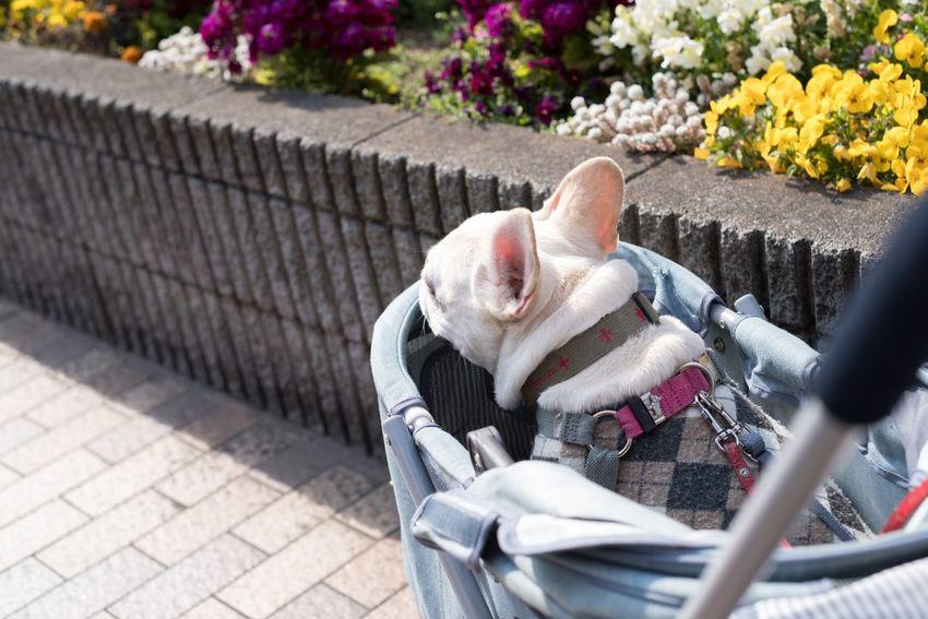 :) Outdoors EyeEm Gallery Wonderful Day Photography Photo Taking Photos Japan Mypet Dogs Of EyeEm Pets Dogoftheday Frenchbulldog French Bulldog Dog Mydog Street Photography Streetphotography