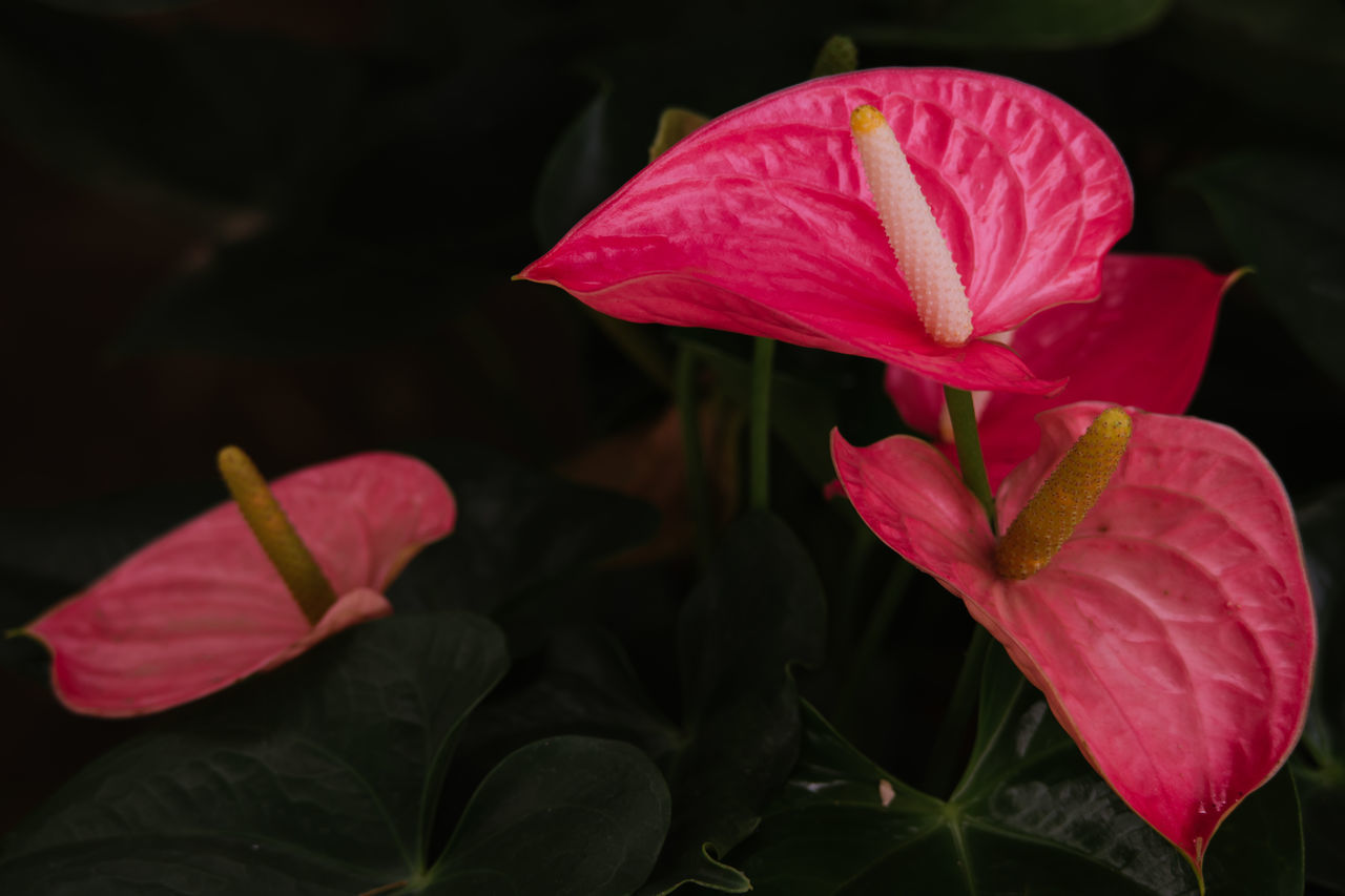 Anthurium Flowers Beauty In Nature Blooming Close-up Day Flower Flower Head Fragility Freshness Growth Hibiscus Leaf Nature No People Outdoors Periwinkle Petal Pink Color Plant Red Water