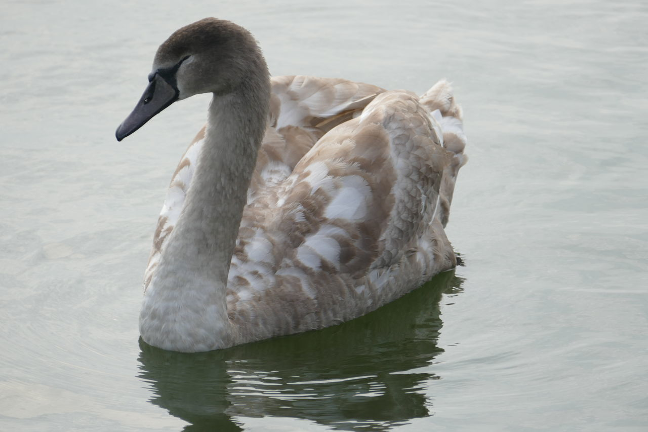 Sleeping Signet Signet To Swan Swan Nature Photography Water Reflections Bird Photography Light And Shadow Colour & Light The Art Of Photography