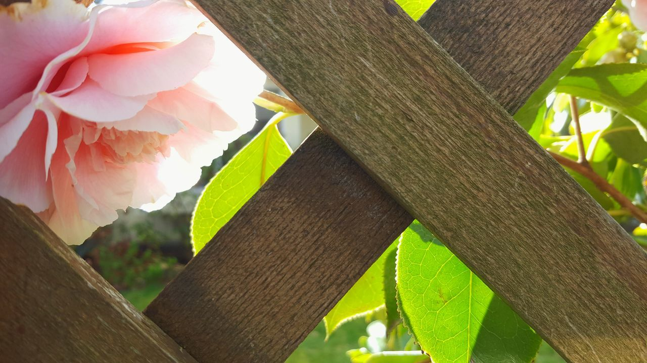 Leaf Plant Nature Close-up Rose Collection Green Roses Wood Plants And Flowers Peekaboo Sunlight Greenery Rustic Sunlit Nature On Your Doorstep Soft Light Leaves Flower Delicate Petals Wooden Fence Fence Pink Pink Flower Pink Rose