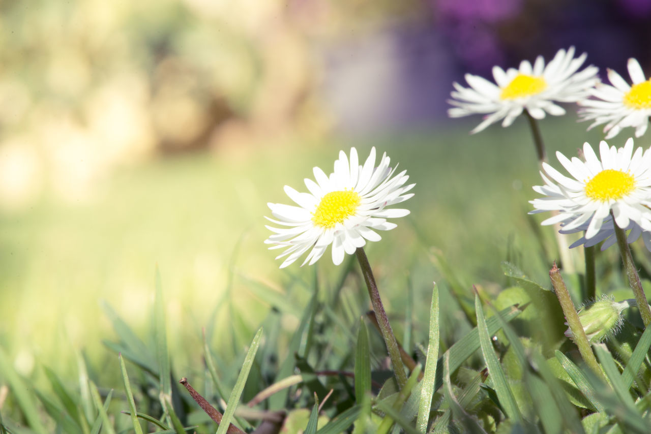 Beauty In Nature Blooming Close-up Daisy Daisy Flower Day Field Flower Flower Head Fragility Freshness Grass Growth Meadow Nature No People Outdoors Petal Plant Springtime Summer White Color Yellow