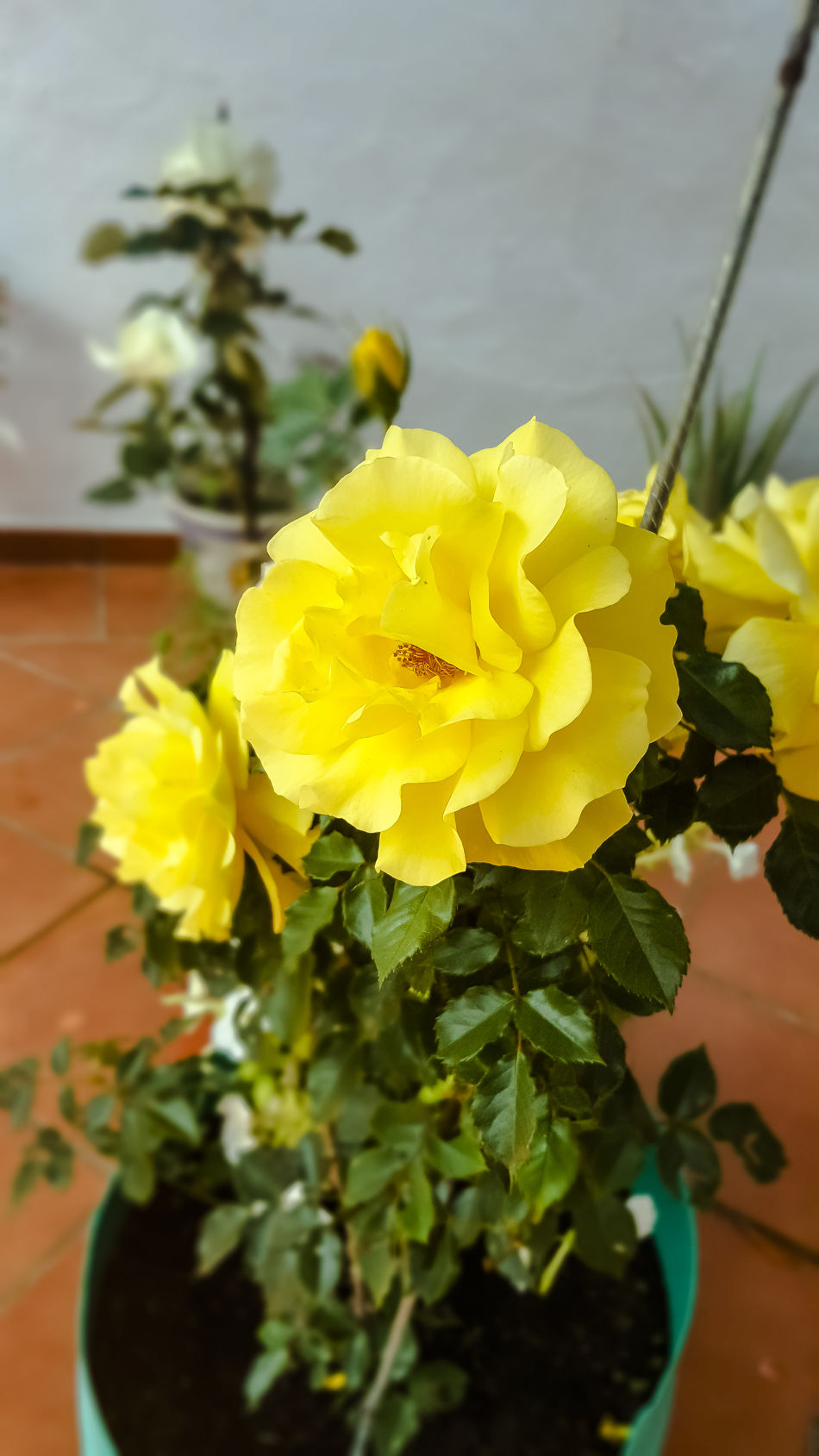 Flowers from my garden The Purist (no Edit, No Filter) Rose - Flower Yellow Rose Flower Plant Petal Flower Head Nature Beauty In Nature Growth Fragility Freshness Close-up No People Day Exceptional Photography The Secret Spaces EyeEm Diversity Art Is Everywhere EyeEmNewHere EyeEm Gallery Sevilla Spain