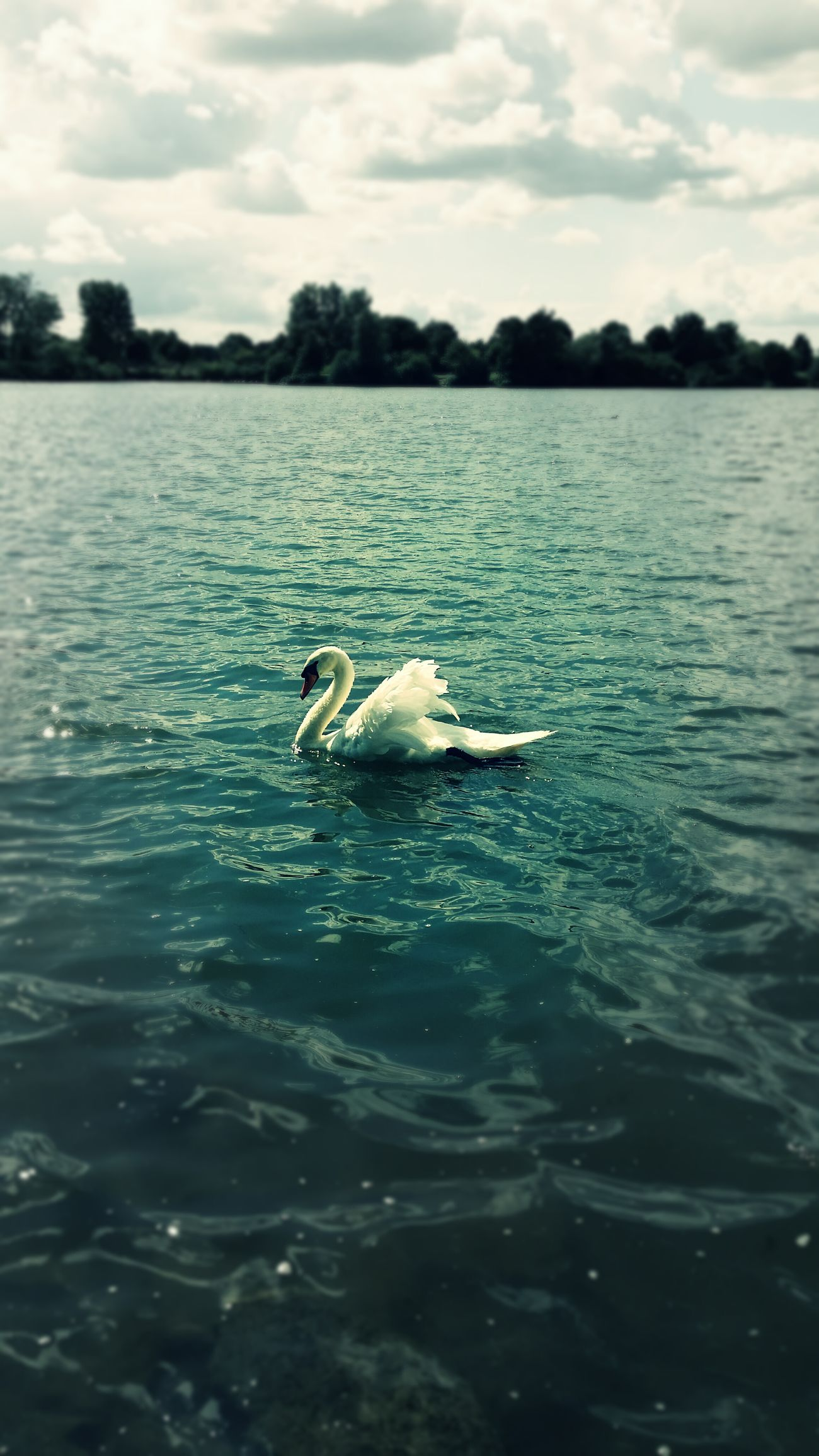 Swan Enjoying Nature Bird Photography Mobile Photography