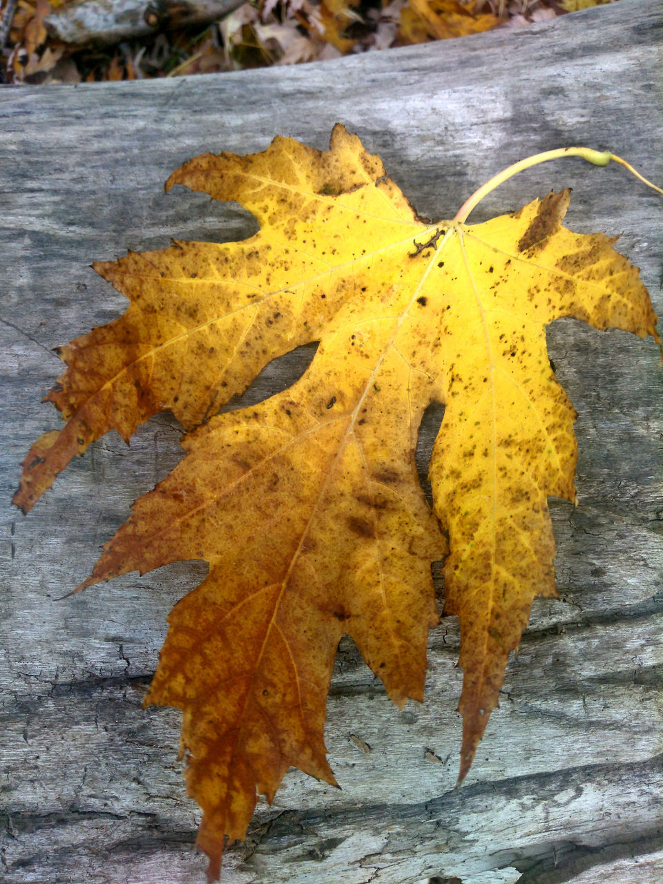 leaf, yellow, autumn, change, close-up, no people, outdoors, nature, day, maple, beauty in nature, fragility, freshness