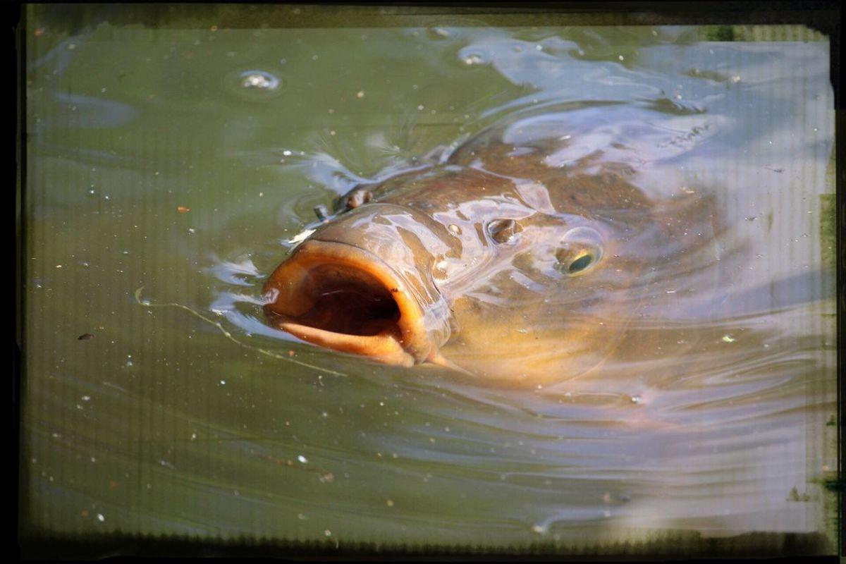 Animals 鯉-carp-