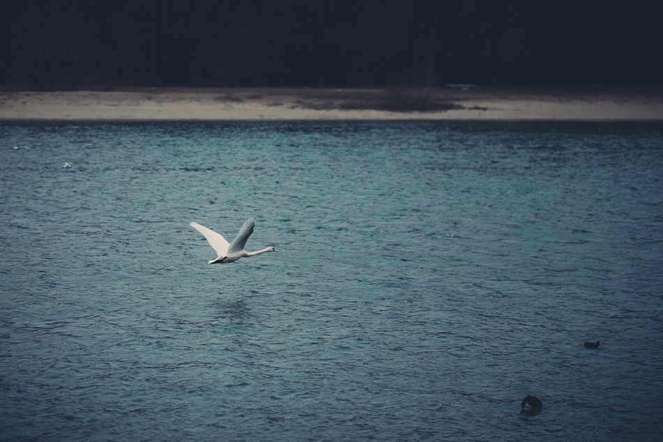 Fly swan fly. Eye4photography  EyeEm Best Edits Shootermag EyeEm Best Shots Nature Landscape Eyem Best Shots