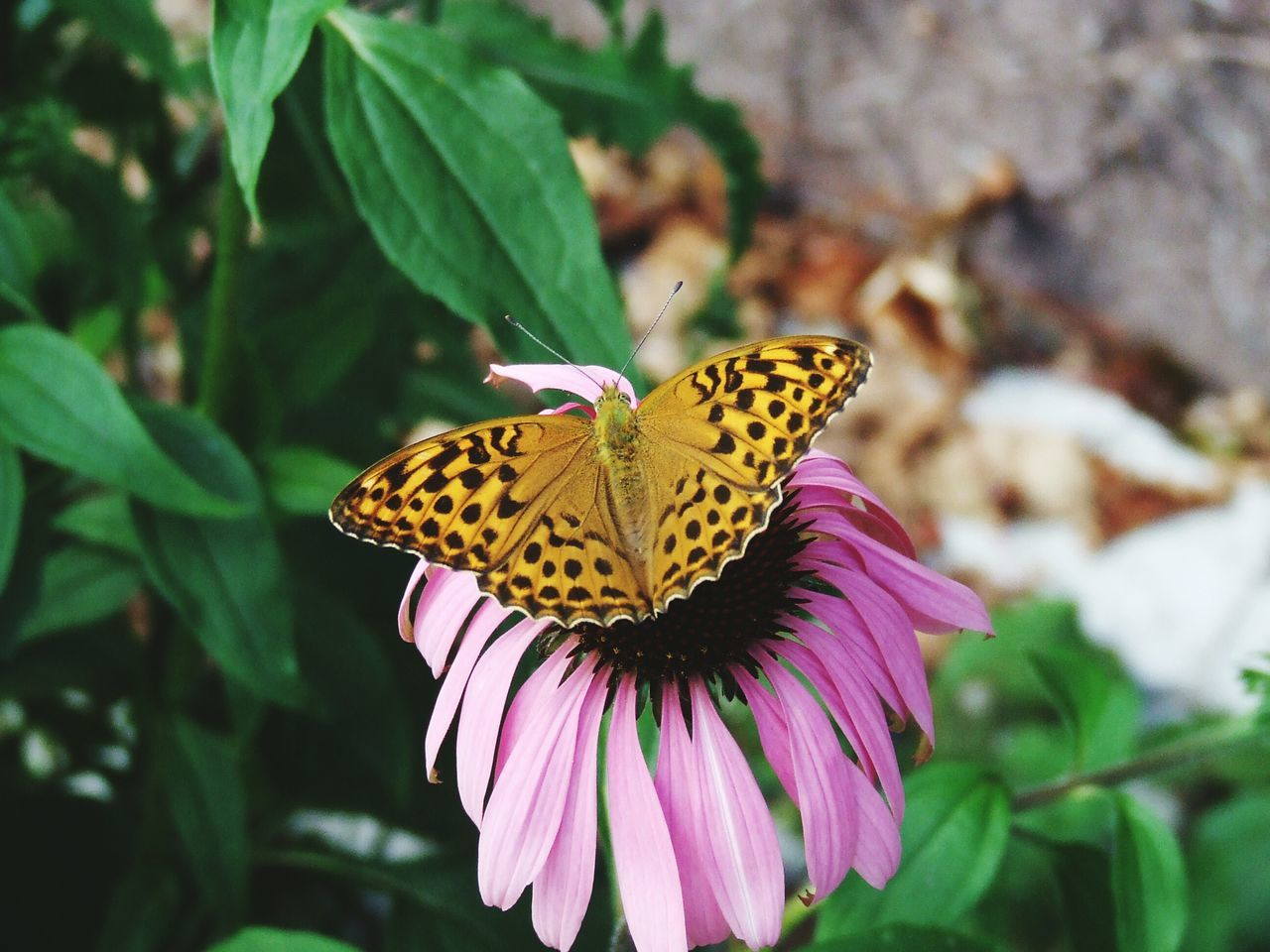 Close-Up Of Butterfly Pollinating On Coneflower