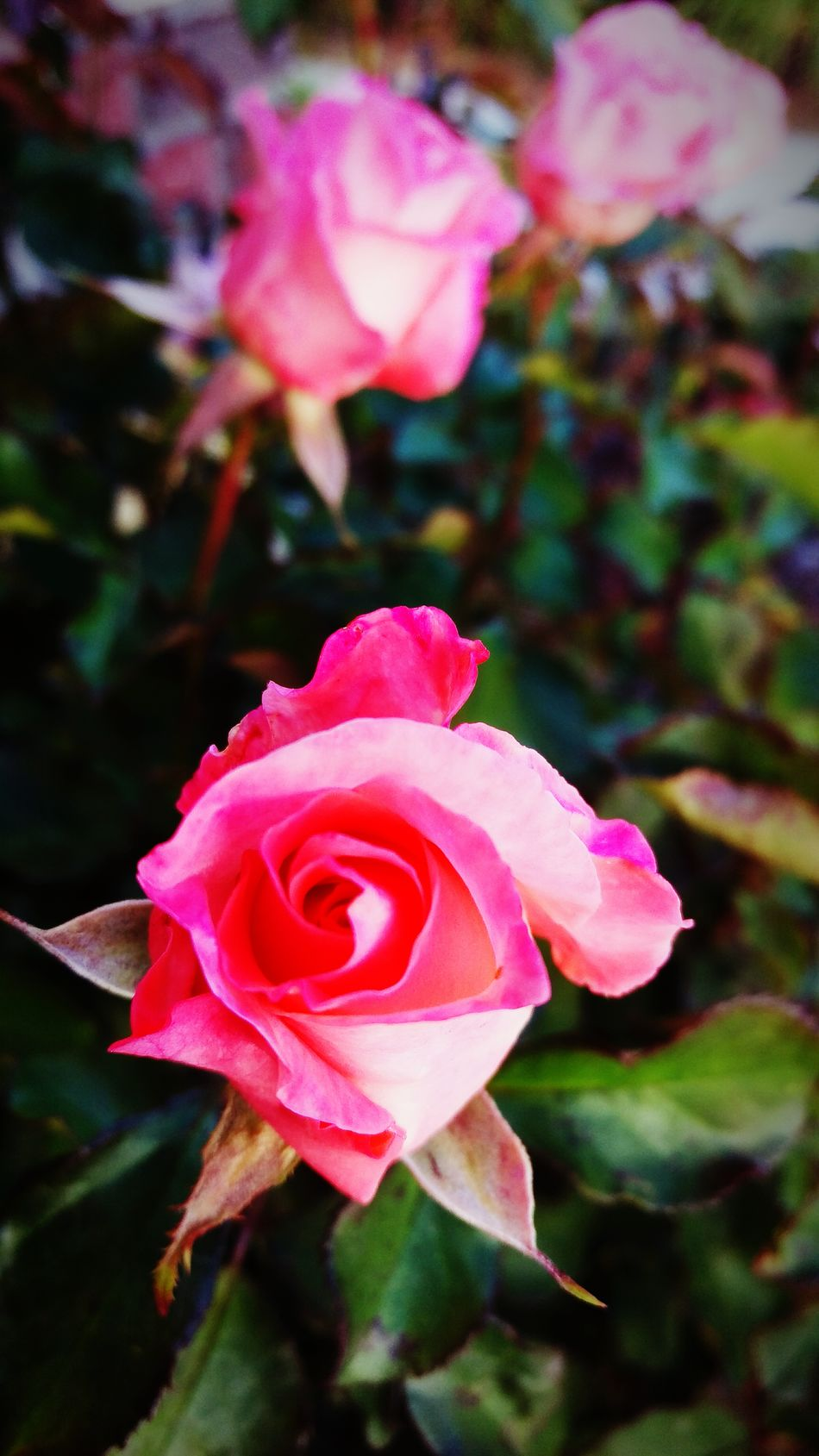 Pink Pink Rose Pretty Rose  Roses Rose Petals Rose Garden Rose Collection Blossum Bloom Rose Bud Rose Photography Close Up Photosynthesis