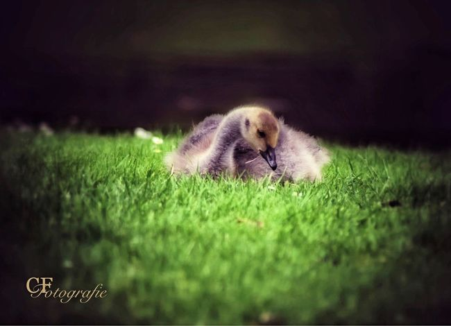 New Life Begins Birdphotography Young Goose Growth Outdoor Photography Flora Fauna Landscape Balance Pure Habitat Young Animal