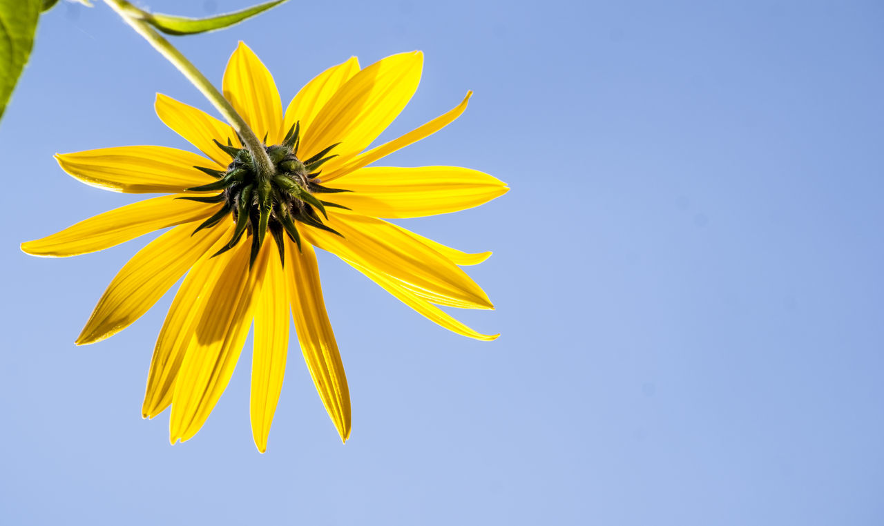 CLOSE-UP OF FLOWER AGAINST CLEAR SKY