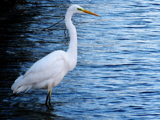 Animals In The Wild Bird Animal Wildlife Water White Color Lake Beak Full Length No People Animal Themes Nature Day One Animal GreatEgret