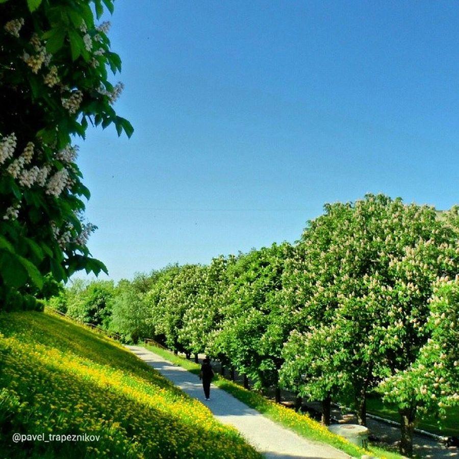 20140519 , г. Рязань . Цветущие каштаны . Фото из командировки моей жены/ Ryazan . Blossoming chestnut. Photos from a trip my wife.