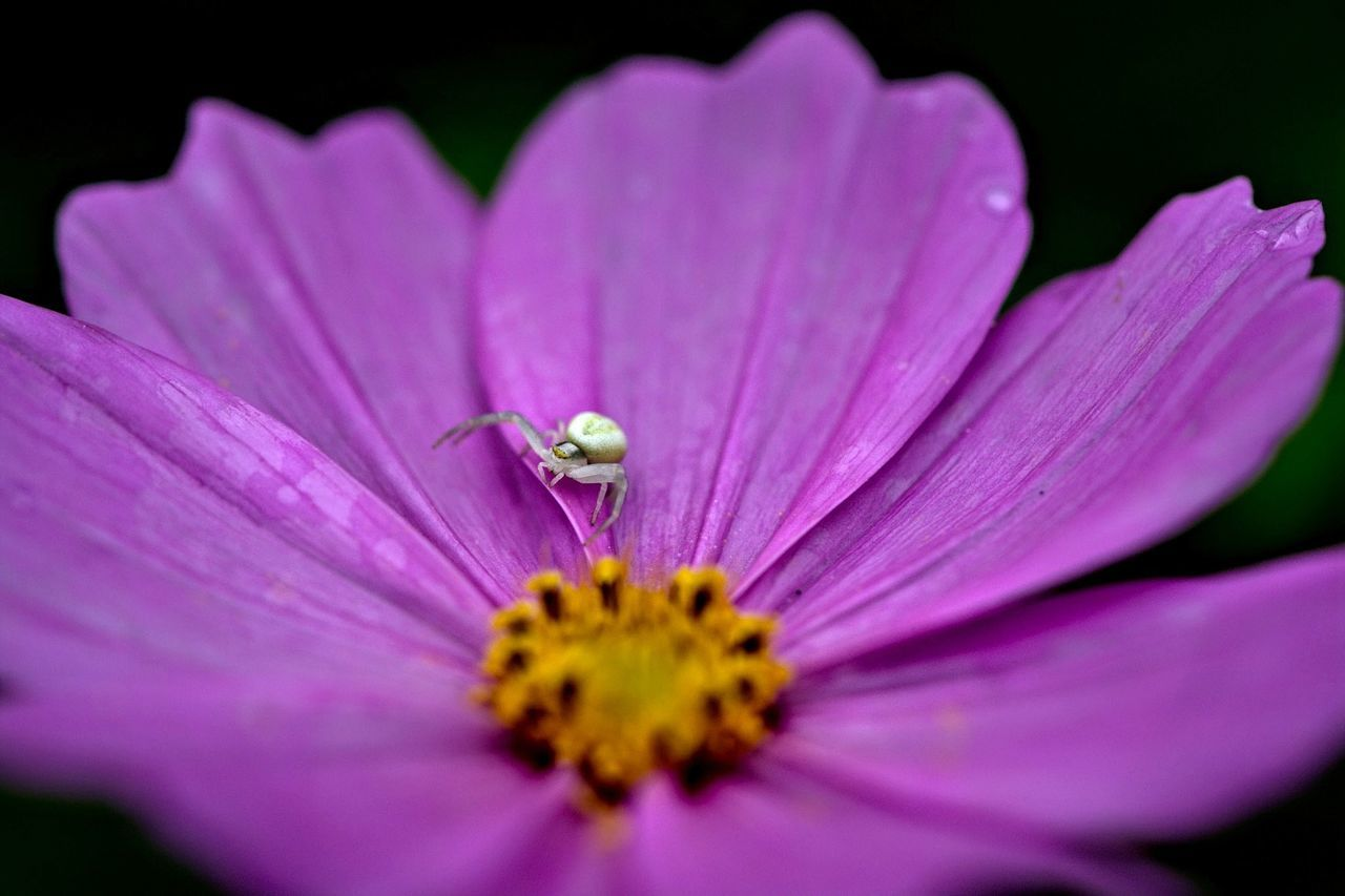 High Angle View Of Spider On Pink Flower Blooming Outdoors