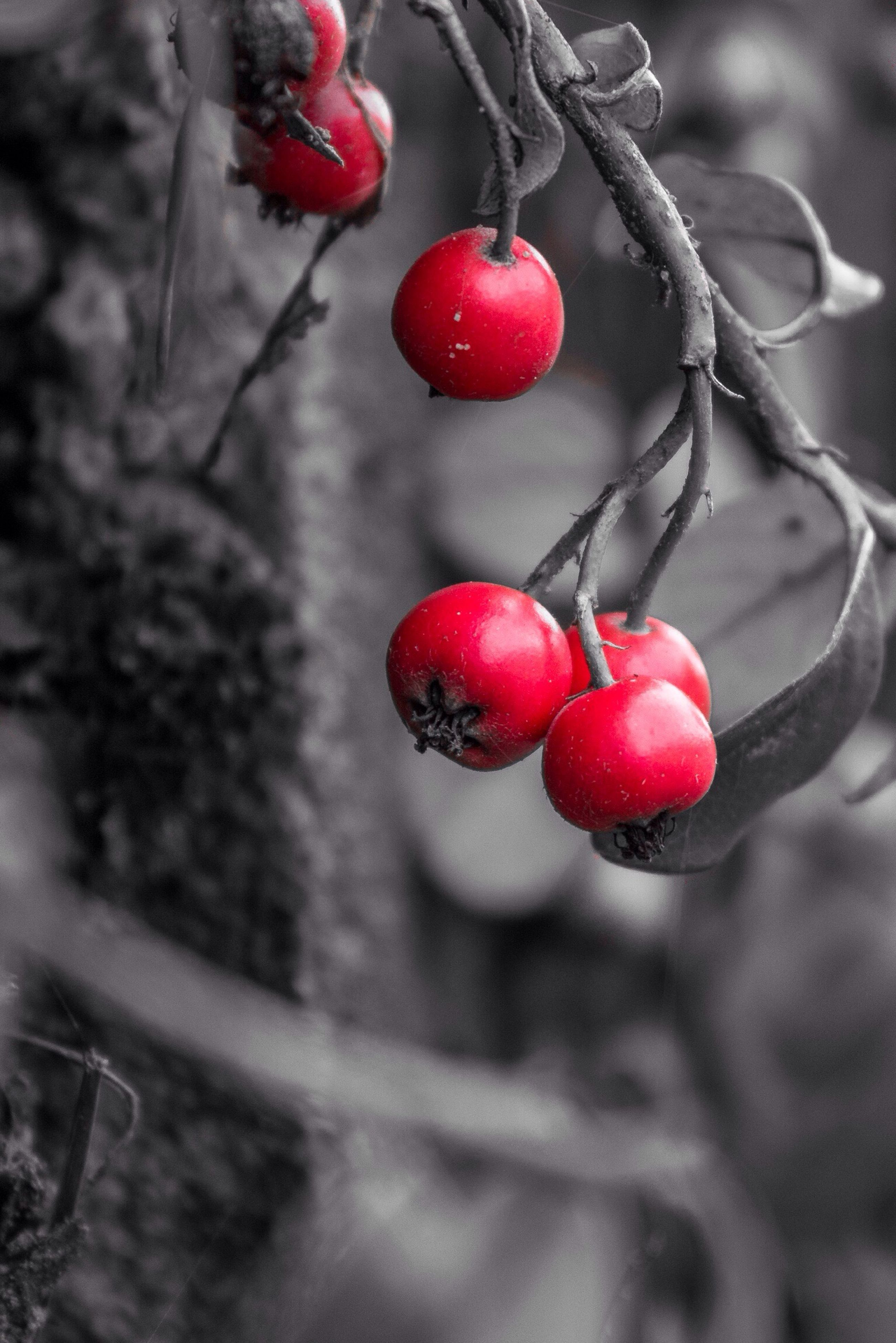 red, fruit, food and drink, hanging, cherry, focus on foreground, close-up, tree, branch, berry fruit, freshness, healthy eating, food, ripe, selective focus, no people, day, outdoors, berry, twig
