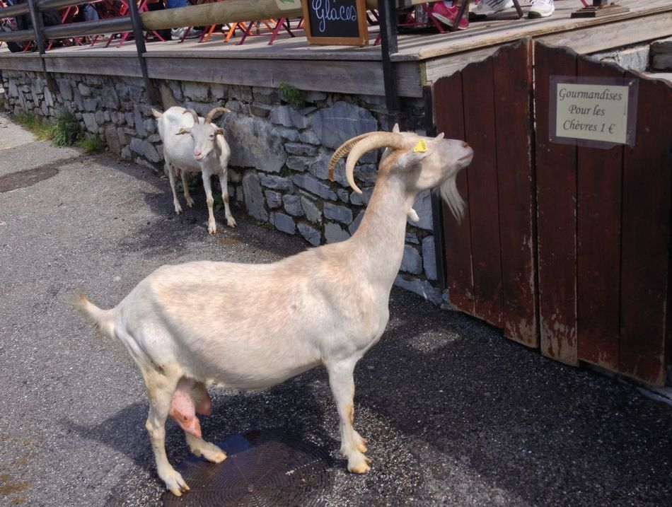 Chevre  Goat Lindarets Business Is Business French Alps Portes Du Soleil