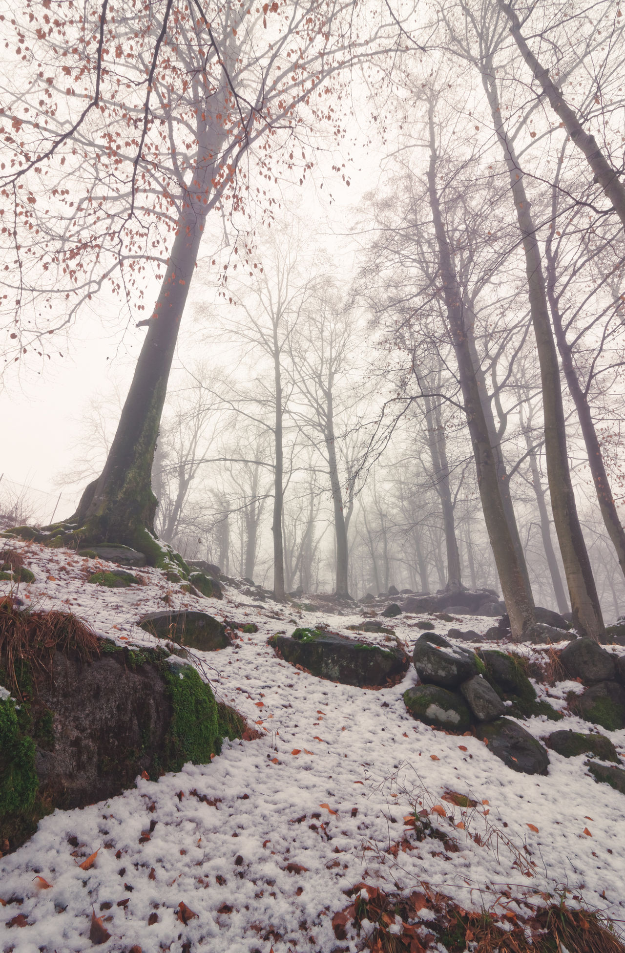 Snowing Forest on the fog in winter Alps Bare Tree Beauty In Nature Branch Day Fog Forest Italy Landscape Nature No People Outdoors Plants Scenics Sky Sweet Tranquility Tree Tree Trunk