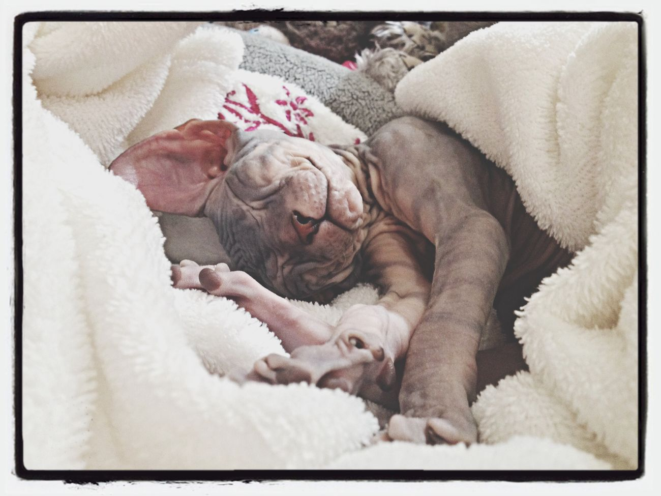 Cat Don Sphynx.2months old