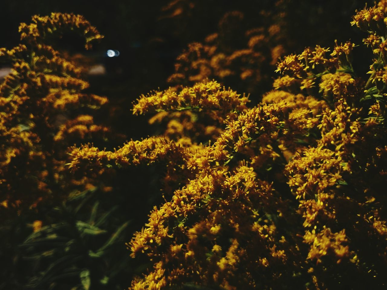 Goldenrod Goldenrod