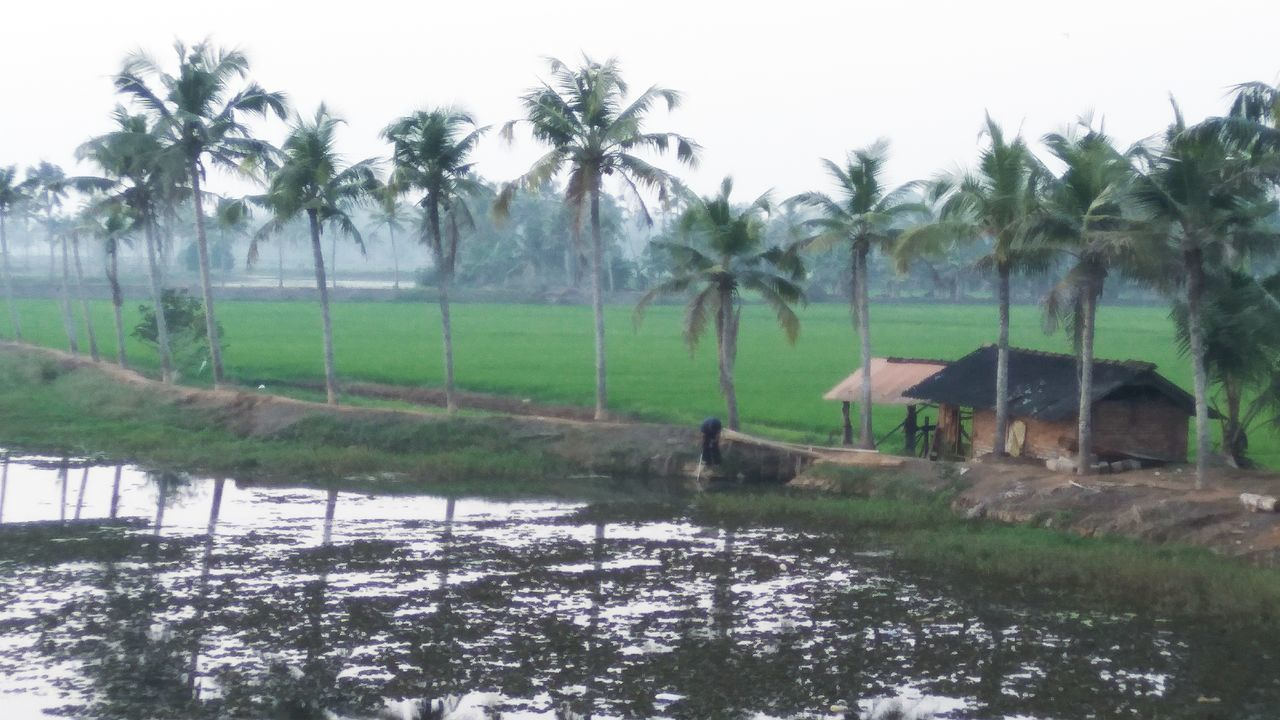 Palm Tree Tree Agriculture Nature Tranquility Growth Farm Water Field Rural Scene No People Outdoors Tranquil Scene Day Rice - Cereal Plant Rice Paddy Beauty In Nature Sky
