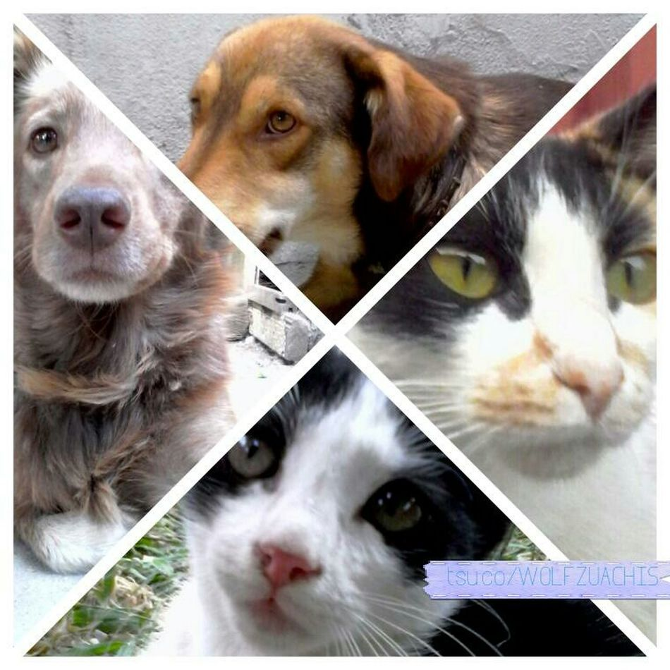 Pet Collage Wolfzuachis Colaj