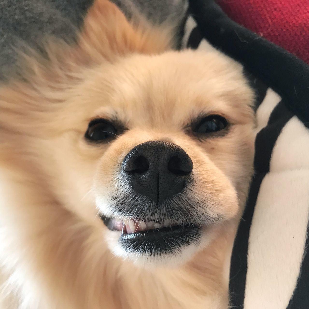 Pomeranian ポメラニアン Pomeranianlove Pomeranian Love Pomeranians Rico ブサかわ 可愛い Pets Dog Cute