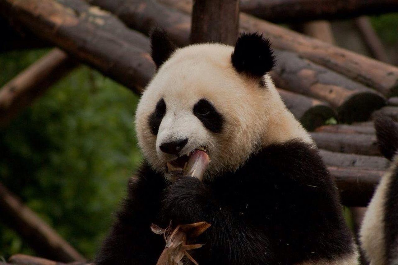 Nature Animals Panda