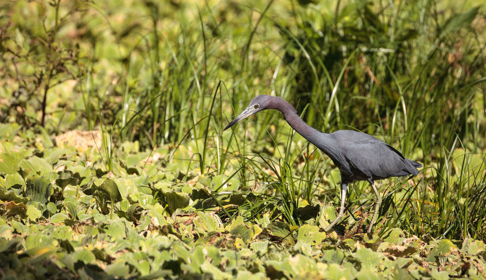 Little blue heron bird Egretta caerulea hunts for frogs amid water fern Salvinia minima in the Corkscrew Swamp Sanctuary in Naples, Florida Blue Heron Corkscrew Swamp Sanctuary Egretta Caerulea Marsh Swamp Animal Themes Animal Wildlife Animals In The Wild Avian Avian Photography Bird Birds Corkscrew Swamp Day Hunt Hunting Little Blue Heron Nature No People One Animal Outdoors Plant Shorebird Wildbird Wildlife