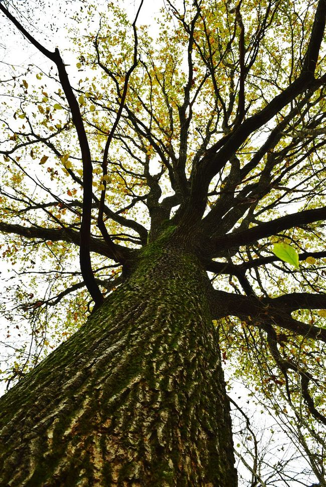Tree Nature Growth Branch Tree Trunk Low Angle View No People Beauty In Nature Day Green Color Outdoors Sky Close-up Huge Autumn Trees Photography Forest Leaves Oak Tree Leaves Oak Tree
