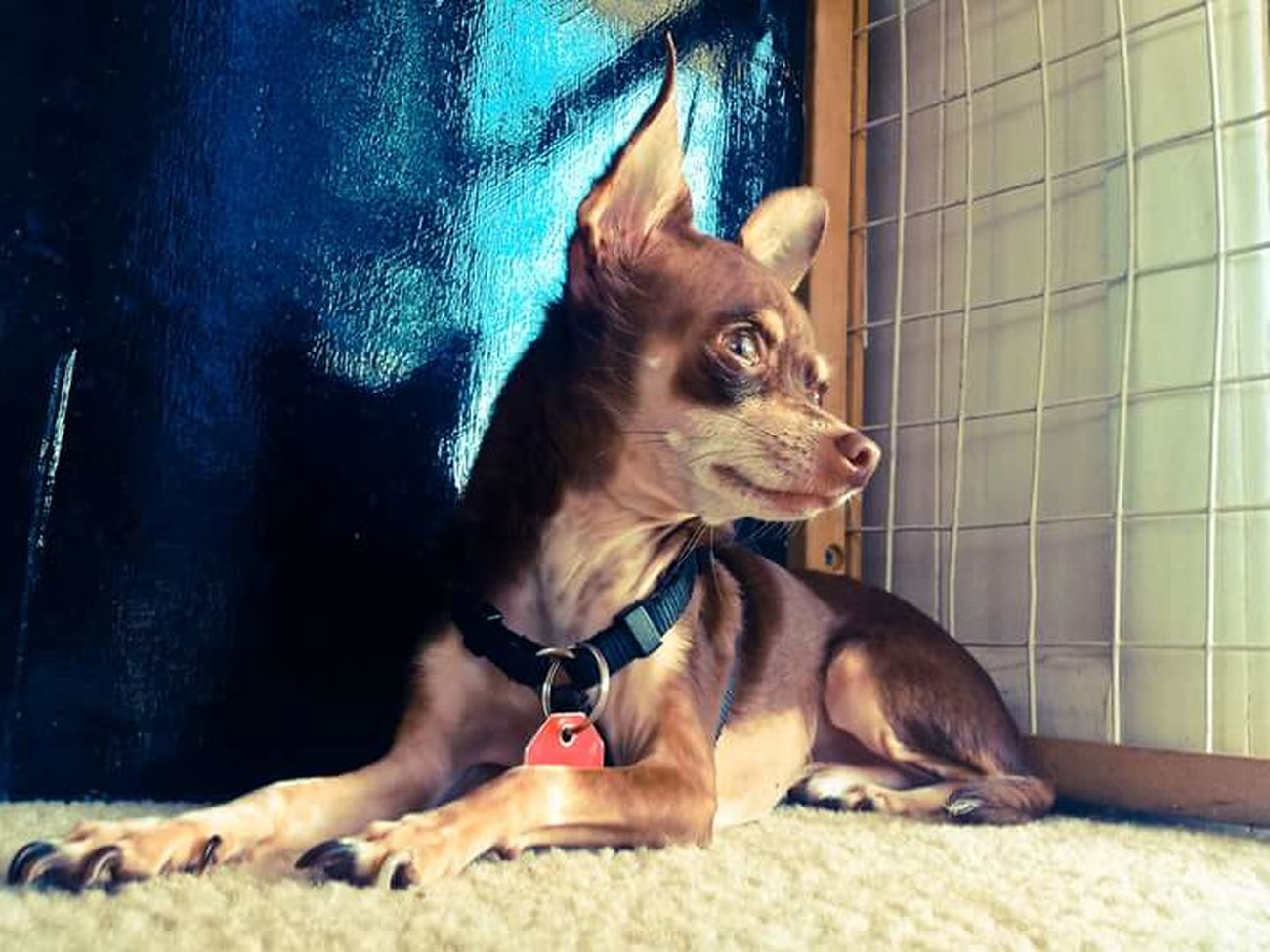 My Dogs Are Cooler Than Your Kids Happy Dogs Chihuahuas<3 Chihuahua Chihuahua Lovers My Best Friend Hanging Out Odie Cu-Jose Chihuahua Lovers.