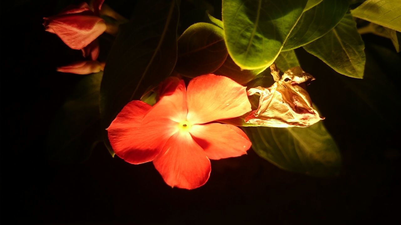 Close-Up Of Fresh Red Flower Blooming At Night