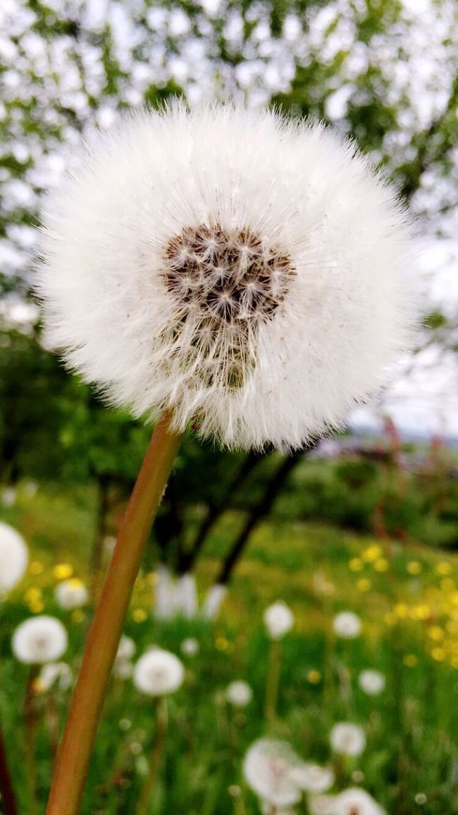 OpenEdit Nature Beautiful Nature Flowers Spring Adinafrasinphotography Beautiful Spring Flowers Dandelion Photography