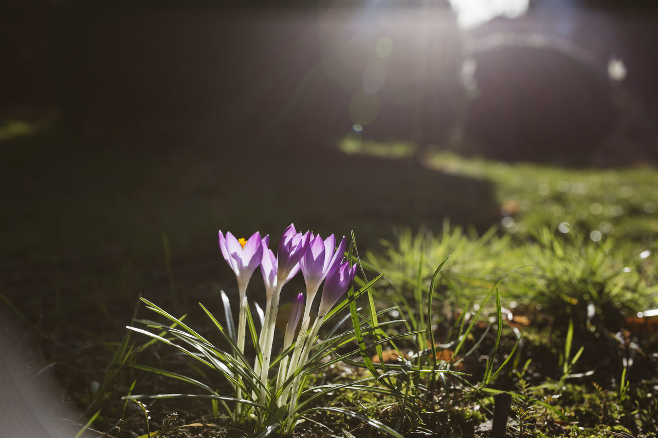 Beauty In Nature Blooming Close-up Crocus Crocus Flower Flower Flower Head Fragility Freshness Growth Lens Flare Outdoors Spotlight Spring Spring Flowers Spring Has Arrived Spring Into Spring Spring Time Springtime Sunlight Sunlight And Shadow Sunlight, Shades And Shadows