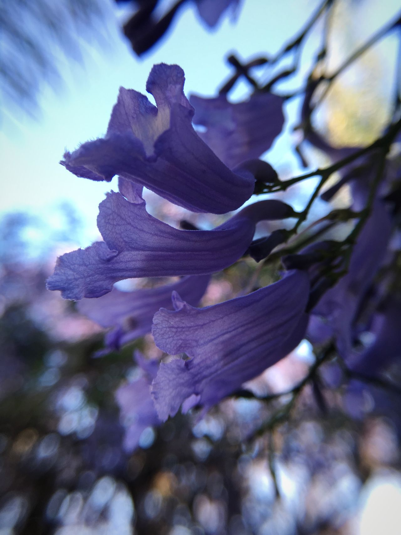 Beauty In Nature No People Nature Petal Close-up Flower Fragility Growth Day Outdoors Flower Head Tree Sky Macro Jacaranda Springtime Spring Blossom Blooming California Purple Flower Purple Dreamy