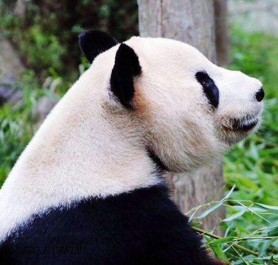 Canon75-300 Canonphotography Giant Panda